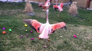 Beak Week! - Chilean Flamingo