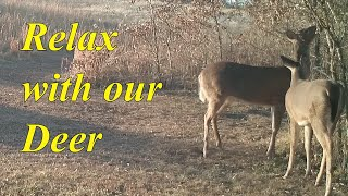 Relax With Our Deer #573