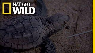 Baby Turtle Swimming Frenzy | Nat Geo Wild