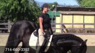 Alexandria Presents - Black Andalusian Stallion - FOR SALE -