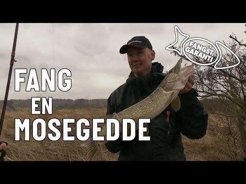 Geddefiskeri med agnfisk og flue