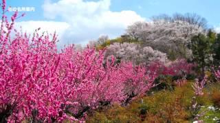 満開の花見山SpringofFukushimainJapan福島の春福島観光