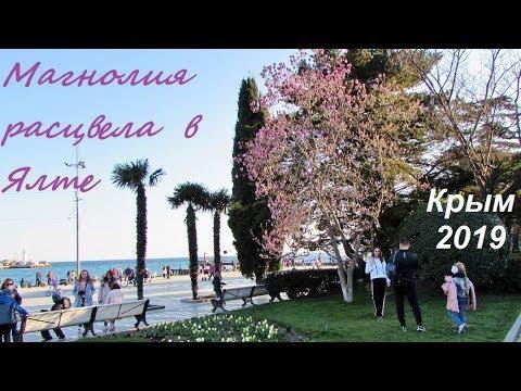 Магнолия Суланжа цветет в Ялте, Крым 2019, 30 марта. Розовое чудо на Пушкинской и Набережной