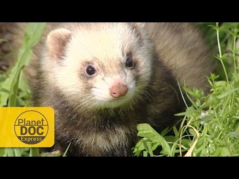, title : 'Polecat (Wild Ferret) vs Snake   Express Documentary
