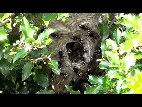 Bald Faced Hornet HUGE Nest removal Wasp Nest