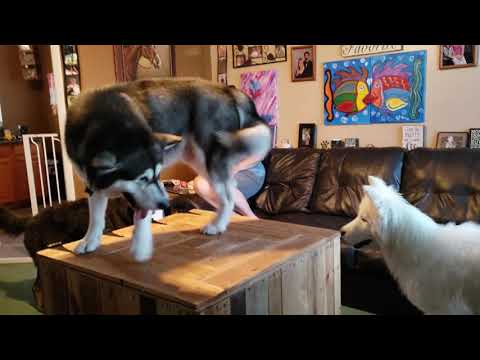 2 On 1 Wolfdog & Husky Get Malamute Series Ep 2