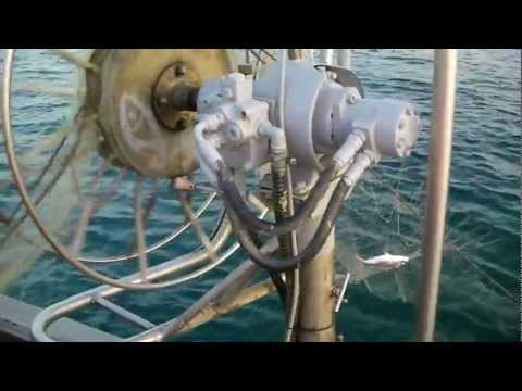 Pesca di una carpa in fecondazione