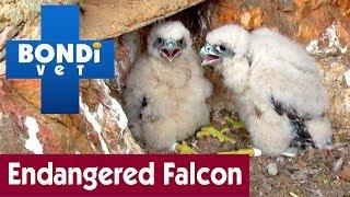 🐦 Saving The Endangered Peregrine Falcon