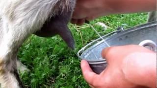 Смотреть онлайн Как правильно подоить козу