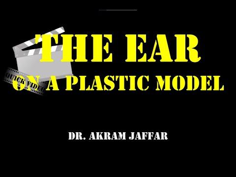 Ucho omówione na plastikowym modelu