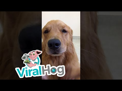 Golden Retriever Loves Pets  || ViralHog