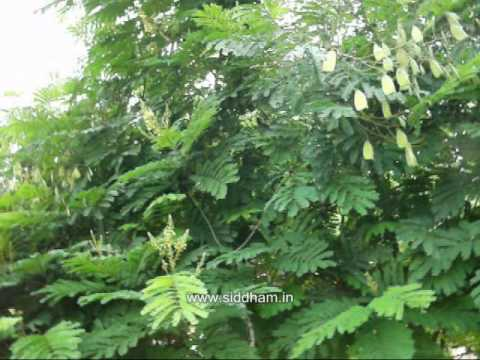 Video Herbal Medicine - Caesalpinia sappan - A Natural Remedy to to quench Thirst