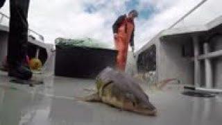 US sturgeon mount comeback from edge of extinction