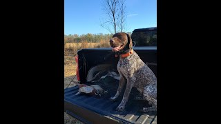 Should You Get A German Shorthaired Pointer?