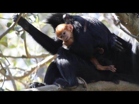 العرب اليوم - لحظة ولادة قرد ينتمي إلى فصيلة نادرة جدًا في أستراليا