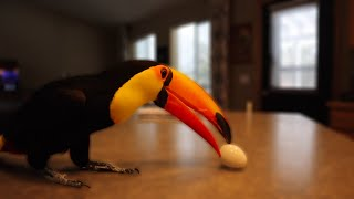 My Toucan's Reaction to a Hard Boiled Egg (First Time!)