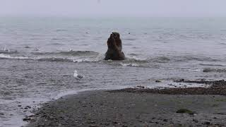 Momma bear attacks big boar for looking at her cubs and fishing too close to them.