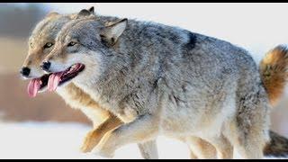 Как общаются волки между собой?