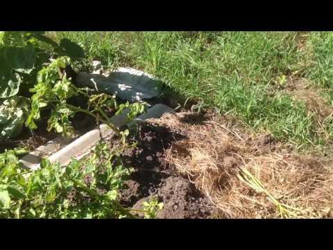 Березовый деготь от колорадского жука 👍🏻