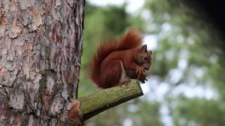 Eichhörnchen In Parchau