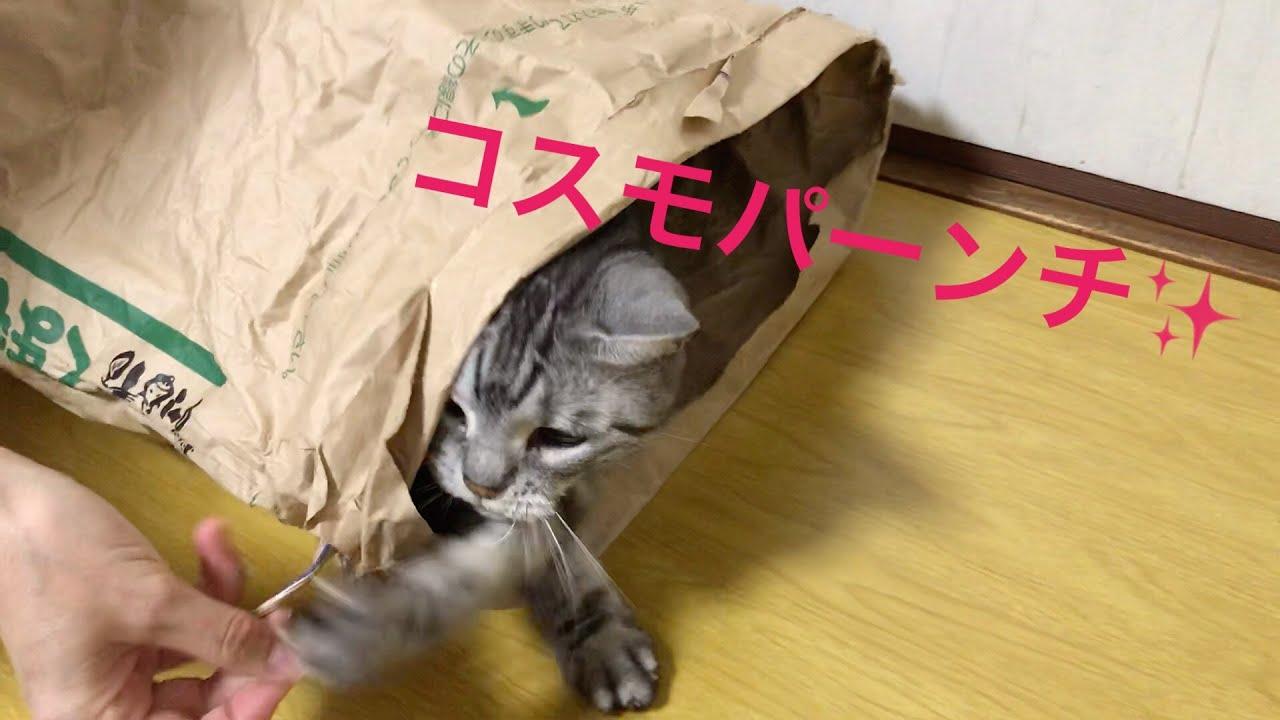 【アメリカンショートヘア】暗くて狭いとこでユックリさせてもらえない猫Www