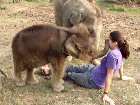 Baby Elephant Searches for Girl's Nose