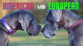 European Vs American Style Great Dane: Whats The Difference And Does It Matter? | Great Dane Care
