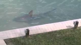 Backyard shark