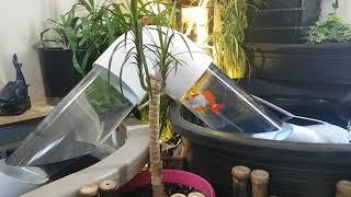 Goldfish Water Bridge Works!!! Indoor Pond Aquarium. Wakin, Watonai & Shubunkin