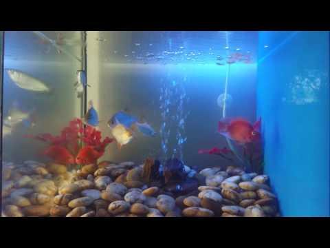 หนอนแดงเป็นปรสิตในปลา