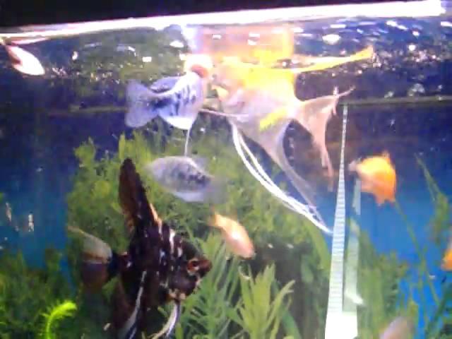 Tropical Fish eating Brine Shrimp