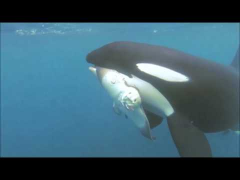 Save the Orcas – Blackfish