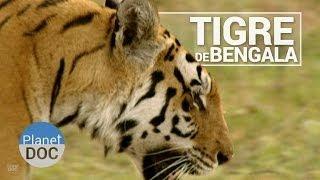 El Tigre de Bengala   Animales Salvajes - Planet Doc
