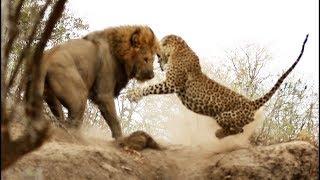 Пантера или леопард Кто быстрее