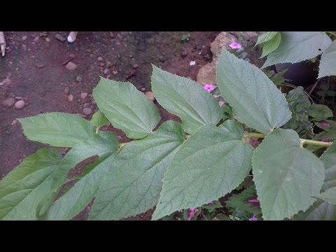 Video Manfaat Daun Kersen Untuk Kesehatan Tubuh