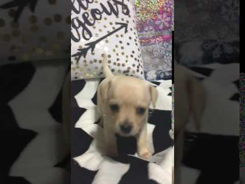 Isabella Miss Snow Princess White And Cream Female Puppy