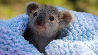 Adorable Baby Koala Rescued