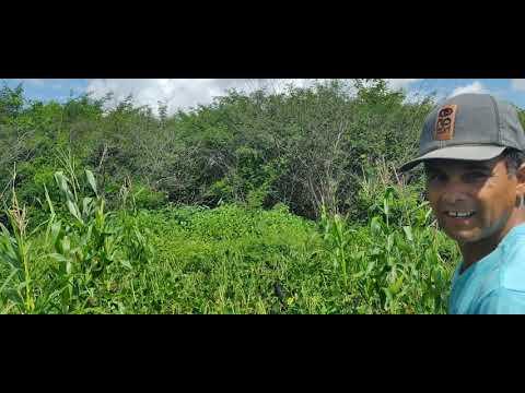 Apanhando um feijozinho verde com meu amigo Ccero