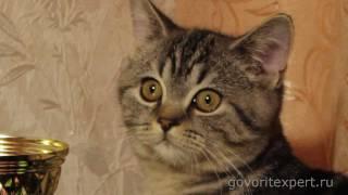 британские кошки,  Чем отличаются британцы от шотландцев?Говорит ЭКСПЕРТ