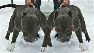 Cú Cắn Vỡ Bê Tông - 10 Giống Chó Nguy Hiểm Nhất Bạn Không Được Đụng Đến Dù Chỉ 1 Lần