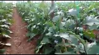 Beybek POWFER'in Patlıcan Serasında Kullanımı-Mersin Bozyazı