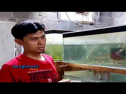 Video Raih Rezeki Dari Ikan Guppy - Inspirasi Sore (19/9)