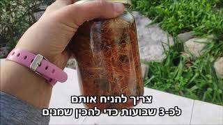 מרפא וטעם בצנצנת - הכנת שמן תשרית