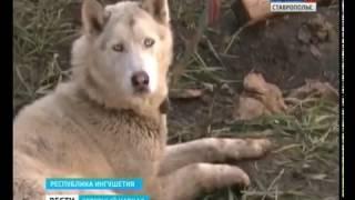 Судьбу белого волка решают в Ингушетии