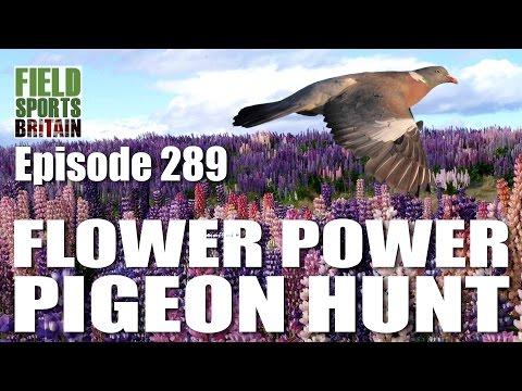 Fieldsports Britain – Flower Power Pigeon Hunt