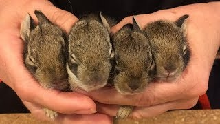 How to Rescue baby bunnies and keep them alive!