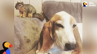 Dog Rescues Baby Squirrel And Makes Him His Brother | The Dodo Odd Couples