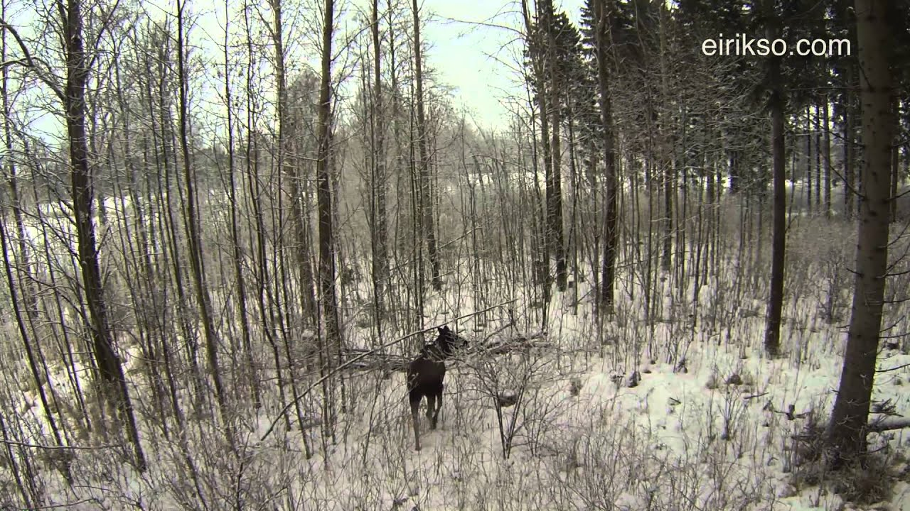 Buzzing A Moose With A Quadcopter Is The Safest Way To Enjoy Nature