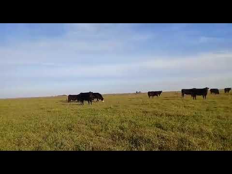 70 vacas preñadas en Pila