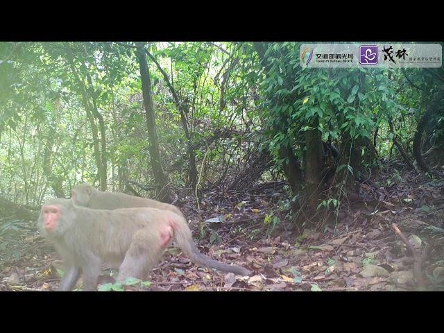 <html> <body> 茂林動物篇 ─ 台灣獼猴之一 </body> </html>